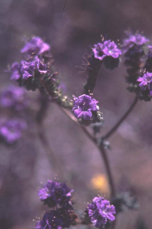 Notch Leafed Phacelia