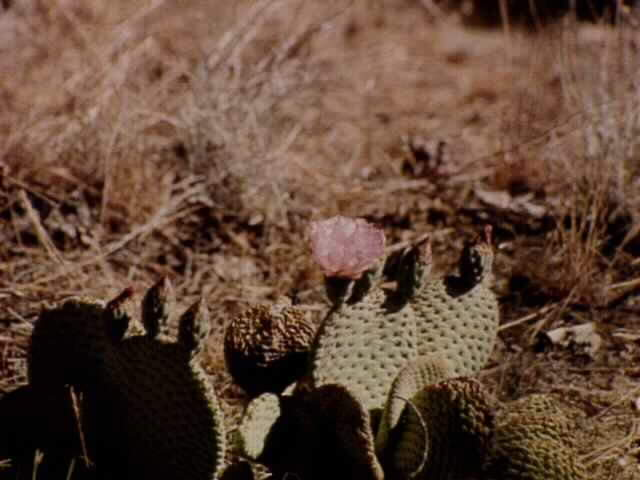Mojave Prickly Pear