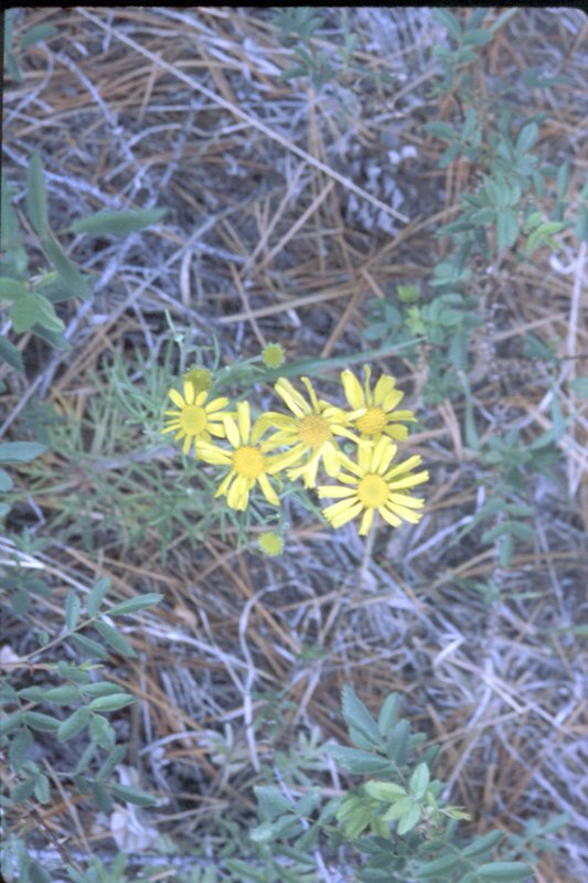 Threadleaf Groundsel